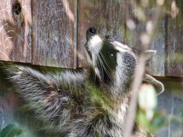 Raccoons Under Your Deck